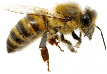 Овсяная паста может помочь в лечении симптомов, связанных с укусом пчелы