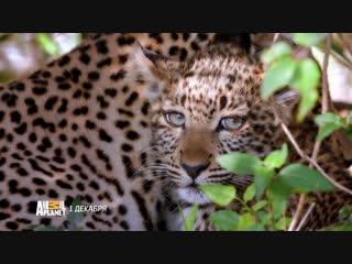 Большие кошки Кении