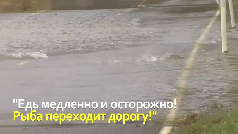 Рыба переходит дорогу