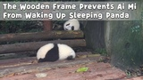 The Wooden Frame Prevents Ai Mi From Waking Up Sleeping Panda | iPanda