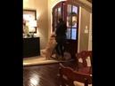 Собаки встречают хозяйку после долгой разлуки