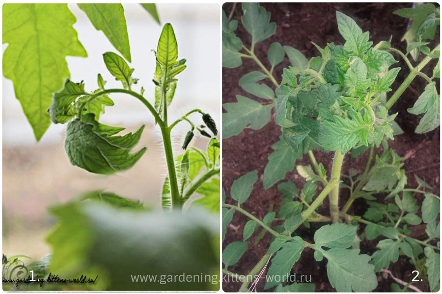 Почему скручиваются листья у томатов, причины и способы решения проблемы