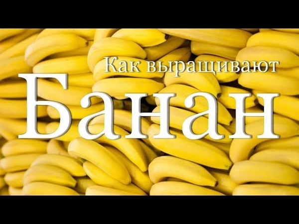 Как выращивают и собирают бананы | How harvested bananas