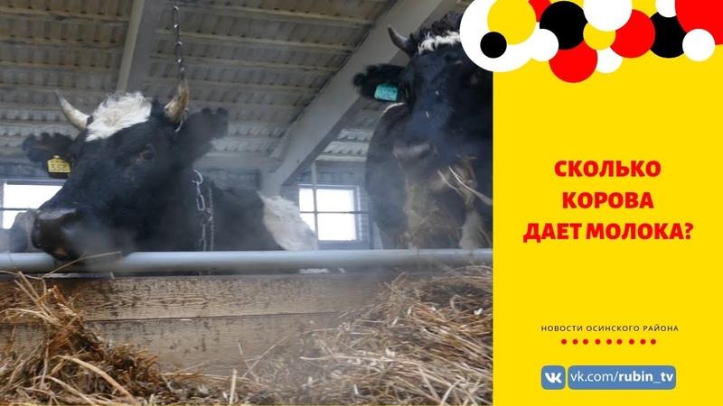 Сколько корова дает молока? Молочное скотоводство в Осинском районе.