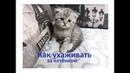 Как ухаживать за котенком? Шотландская вислоухая кошечка Мелиса от 1 мес до 1,5