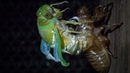 Cicada Emerges From Its Exoskeleton After 7 Years