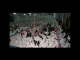 Птичий грипп в Каменском районе Ростовской области