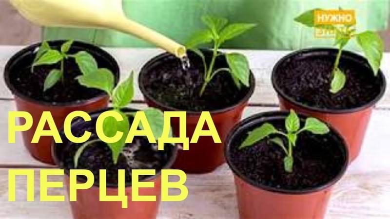 Выращивание рассады перцев - правила и методы