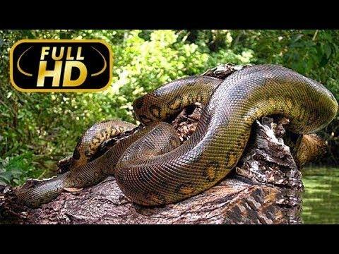 Самая Большая Змея. Гиганты Мира Животных / FULL HD - Amazing Animals TV