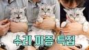 귀엽게 짜증내는 고양이 모음 -수리 특집-