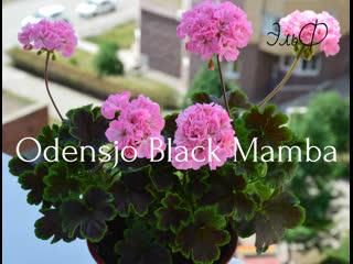 Odensjö black mamba
