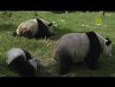 Маленькие панды 2015 P1. SDI Media, В.Букин 1.49 ts