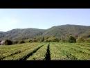 Сочи.аул Кичмай.чайные плантации.