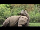 Игры малыша-носорога с мамой