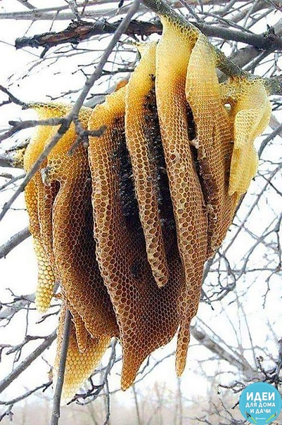 Вот так у некоторых садоводов-пчеловодов МЕД буквально растет на деревьях ))))