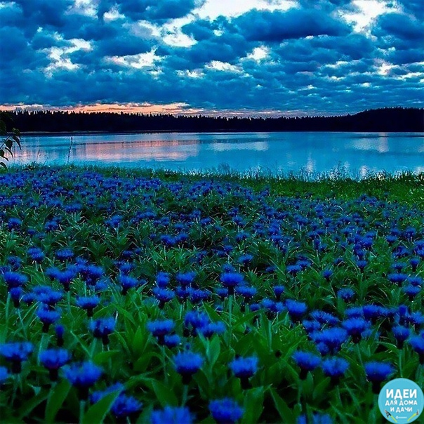 Когда небо упало на землю))) Нежные, милые, незатейливые цветы!