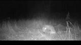 Лисица в ловушке против койота