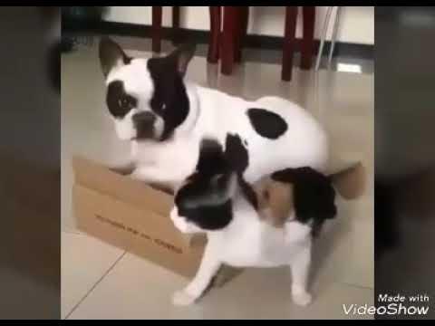 Французские бульдоги против котов French bulldogs against cats