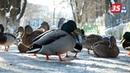 Отъевшиеся вологодские утки не смогли улететь на юг