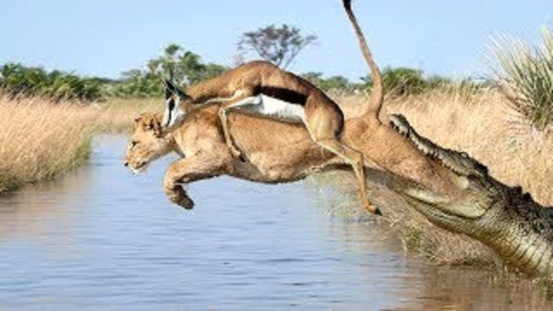 Lion Of The God Unbelievable Lion Protect Yourself From Crocodile Impala Escape Wild Dogs