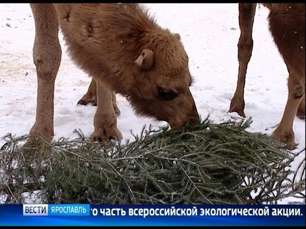 «Елкомобиль» соберет хвойные деревья с улиц Ярославля