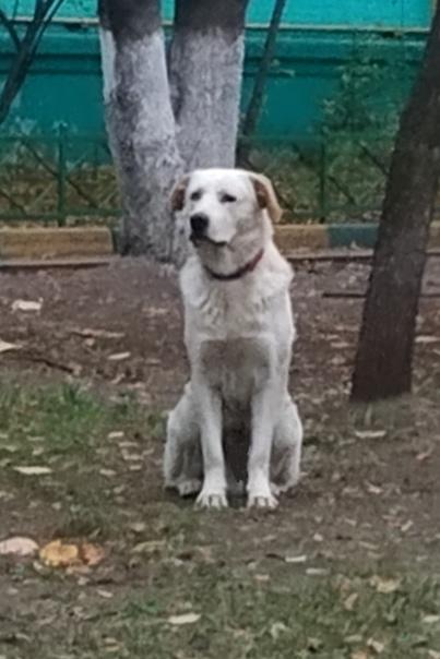sos!!!! вознагражение 10 000 рублей пропала собака ! 19 сентября 2018 г. из района благовещенье г. ногинск ушла из дома собака – метис алабая. окрас молочно-желтоватый, не рыжая (без пятен),