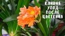 УХОД ЗА КЛИВИЕЙ ПОСЛЕ ЦВЕТЕНИЯ. Мои цветы. Мой опыт.
