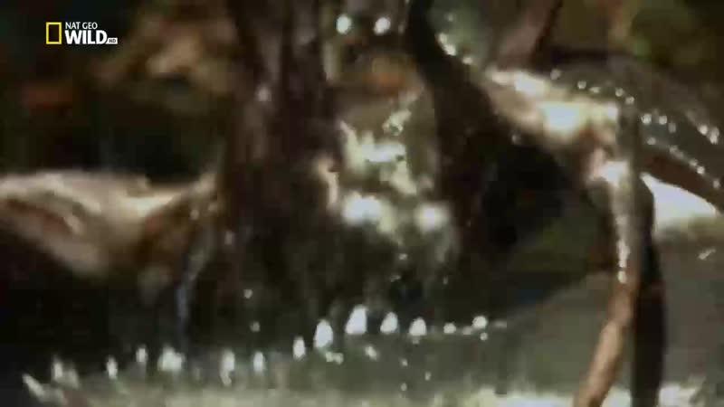 Острорылый крокодил охотиться на опоссума