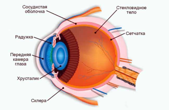 Анатомия человеческого глаза включает в себя роговицу, сетчатку, хрусталик, зрачок, зрительный нерв и многое другое.