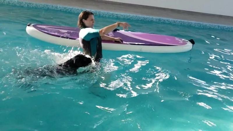 Кане Корсо на тренировке в бассейне для собак NEVA