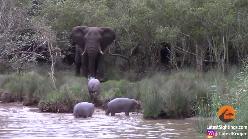 Elephant vs BabyHippos -Who`s the Boss