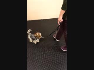 Тайра и качель. Дрессировка собак в Ульяновске