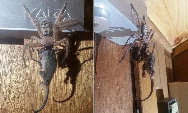 В Австралии паук сожрал опоссума прямо в номере гостиницы на глазах у туристов.