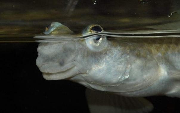 Четырехглазки потрясающие рыбы, у которых 2 глаза и 4 зрачка Обычно позвоночные животные имеют по два глаза, в каждом из которых располагается по одному зрачку. Но правила эти применимы не для