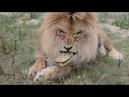 Любимец наших зрителей лев Олежка снова сотворил шкоду Тайган .Крым