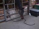 Лошадь использует инструмент для добывания еды Tool use in a horse