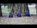 Hyacinth macaw Гиацинтовый ара Anodorhynchus hyacinthinus