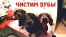 Наши таксы Чистим зубы таксе собаке Как и чем чистить зубы собаке