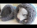 Two Chinchillas, One Sock!
