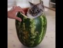 Арбузный котик!