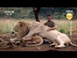 《ЧЕЛОВЕК-ЛЕВ》02. Как Выжить в Королевстве Белых Львов. Кевин Ричардсон и его львиный прайд.