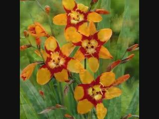 Крокосмия - желтые, оранжевые, красные цветки собраны в метельчатые соцветия. Цветет с июля по сентябрь