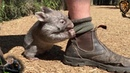 The worlds cutest baby wombat