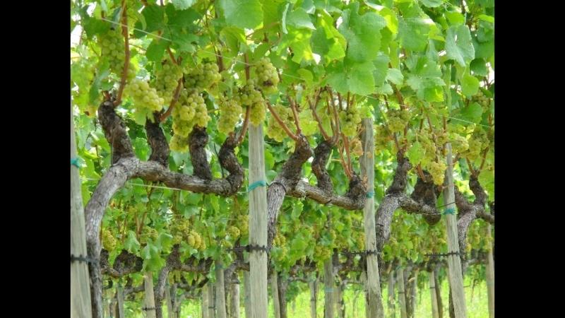 Штамбовая короткая обрезка винограда