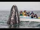 Киты приплыли к нашей лодке. Guerrero Negro Grey Whale Watching and Petting v.1.0