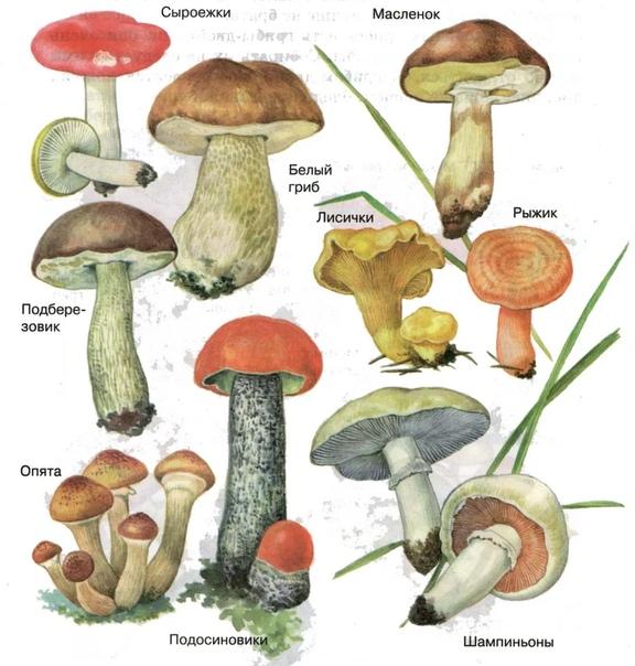 Отличие поганок от съедобных грибов