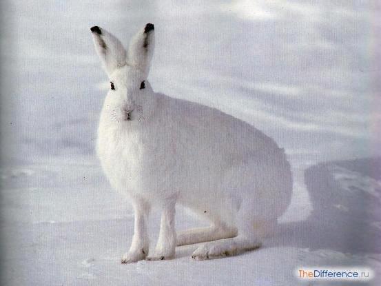 Разница между зайцем-беляком и зайцем-русаком Оказывается, не все зайцы одинаковы. Русак и беляк отличаются друг от друга столь сильно, что даже удивительно, как некоторые люди умудряются их