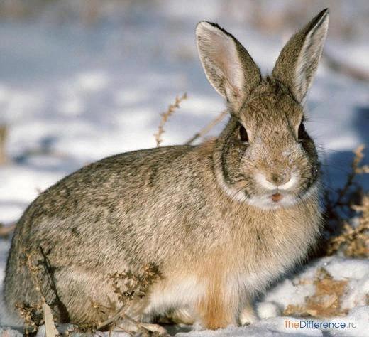 Разница между зайцем-беляком и зайцем-русаком