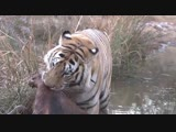 Tiger Hunts Prey Too Fast Too Dangerous(1) (online-video-cutter.com)