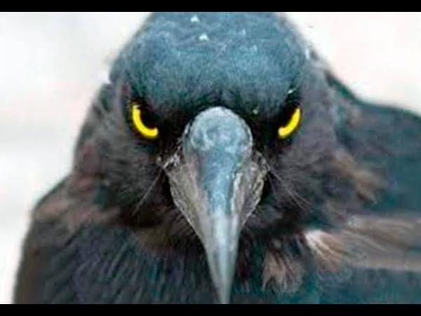 Вороны Никто не ожидал такого от обычных птиц вот на что они способны 7 тайн вороны